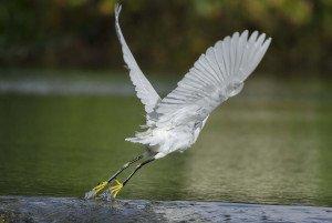 snowy-egret-1398678_1280