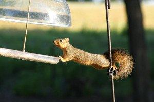 squirrel-1510603_1920